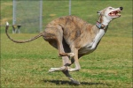 Image of a greyhound dog
